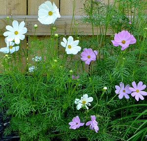 cosmos flowers in Niagara Falls NY garden