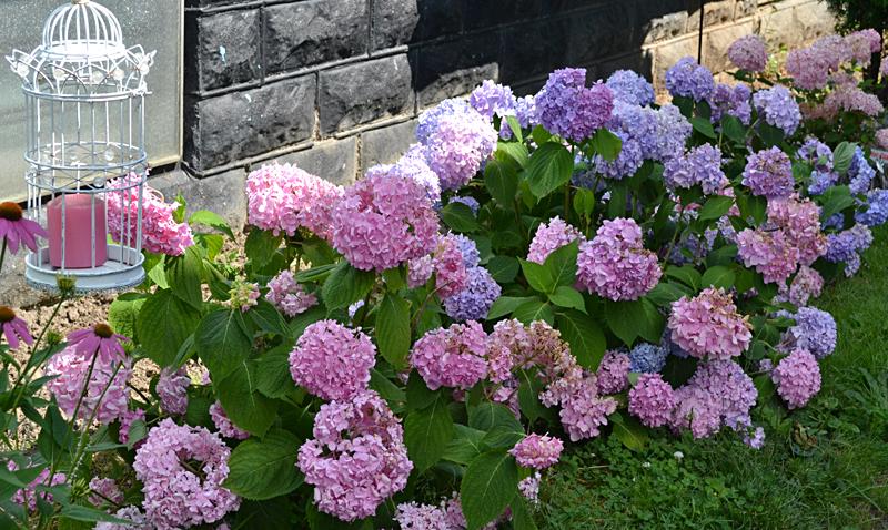 hydrangeas in garden in Buffalo NY