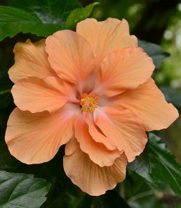 orange hibiscus in backyard on West Delavan in Buffalo NY