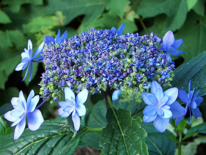 Hydrangea macrophylla cultivar. Photo courtesy Tim Boebel
