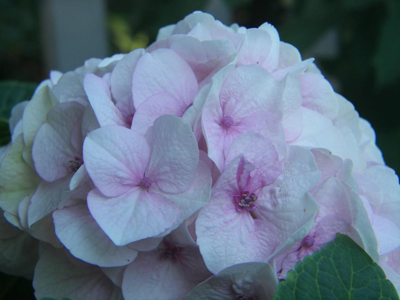 macrophylla hydrangea courtesy Tim Boebel
