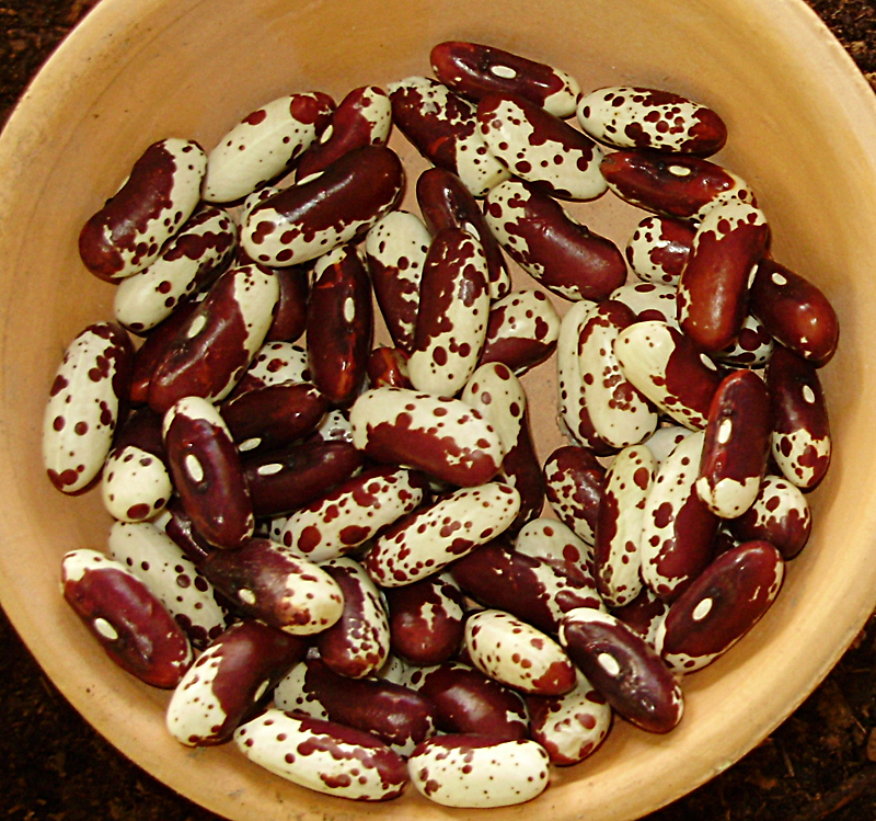 Jacob's Cattle Beans from Jim Tammaro in Williamsville NY