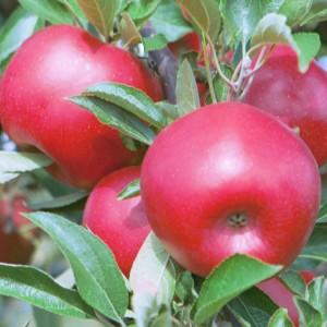 RubyFrost apple from Cornell University