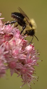 bee on flower in September in Amherst NY