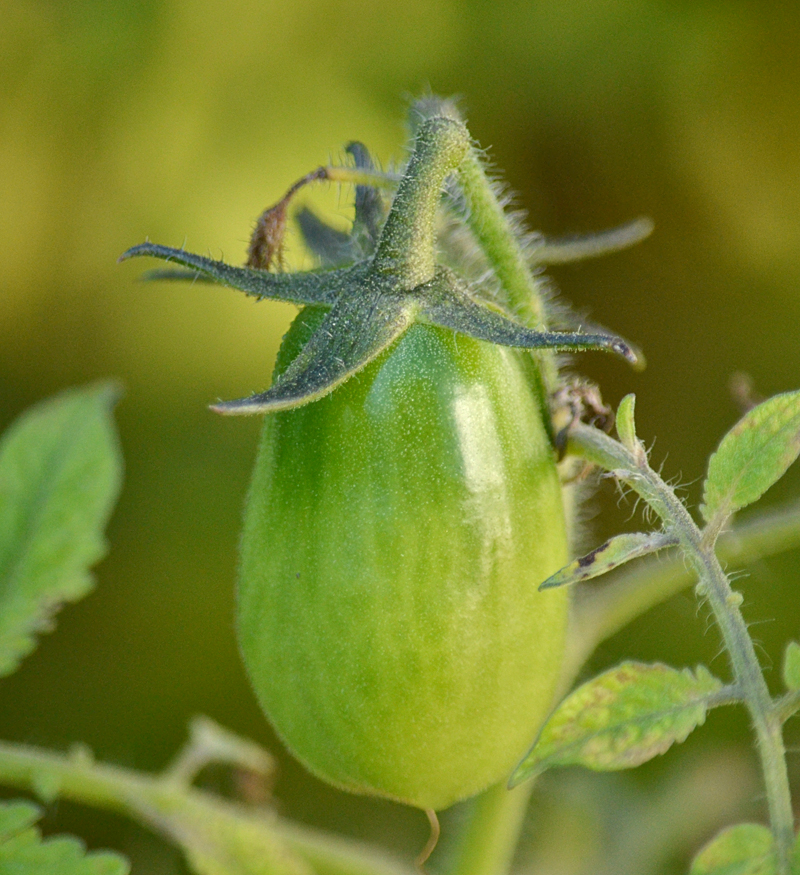 green tomato in Amherst NY