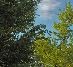 trees in Amherst NY with sky