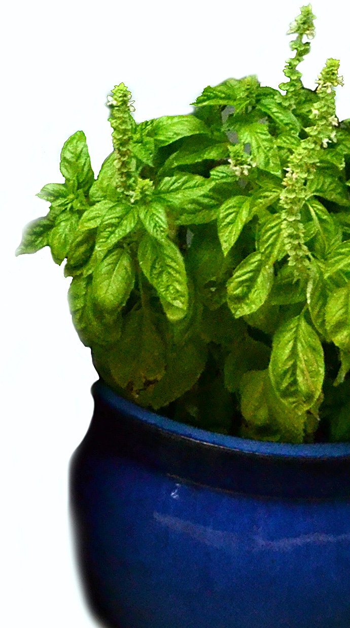 how to keep basil over winter free class discusses growing tomatoes inside too buffalo. Black Bedroom Furniture Sets. Home Design Ideas
