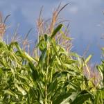 corn growing in field in Western New York
