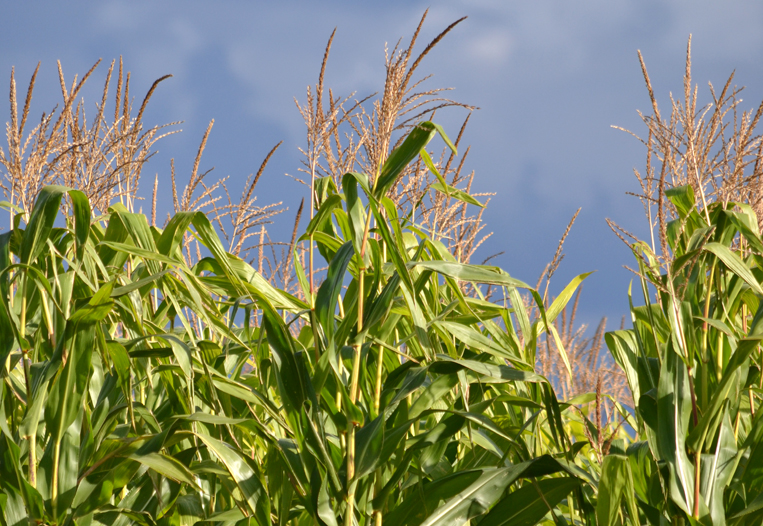 corn growing in field in Western New York