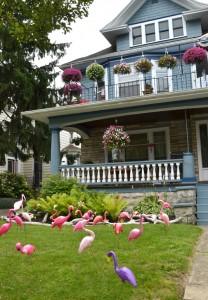 flamingos on front lawn in Buffalo NY
