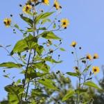 flowers on sunchoke in Amherst NY 2013