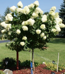 hyrangea tree 2013 in Western New York