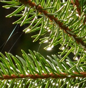 pine needles closeup with drop of water