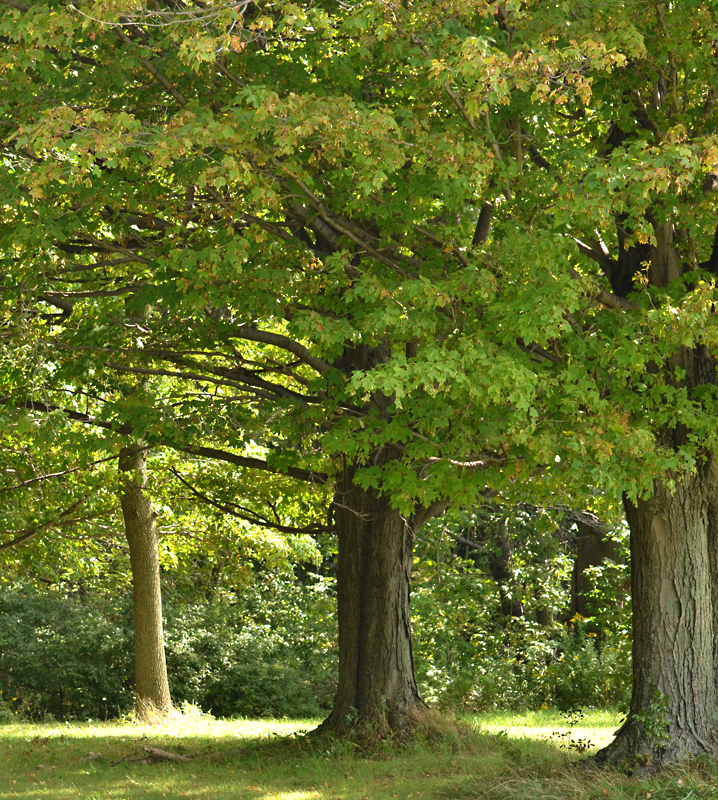 trees with green leaves in parklike setting in Western New York