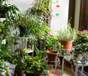 Christmas cactus and other plants in room in Buffalo NY