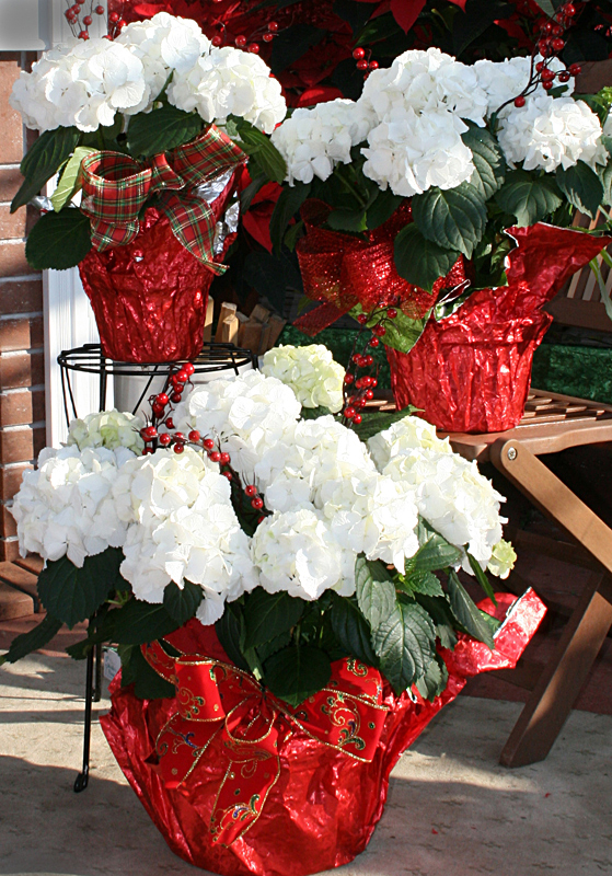 Snowball hydrangea for Christmas. Photo courtesy Mischler's Florist and Greenhouses