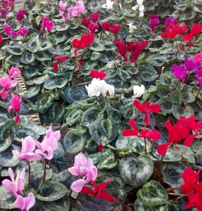 cyclamen in Hamburg NY