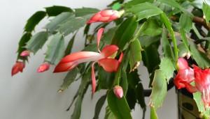red Christmas cactus in Buffalo NY