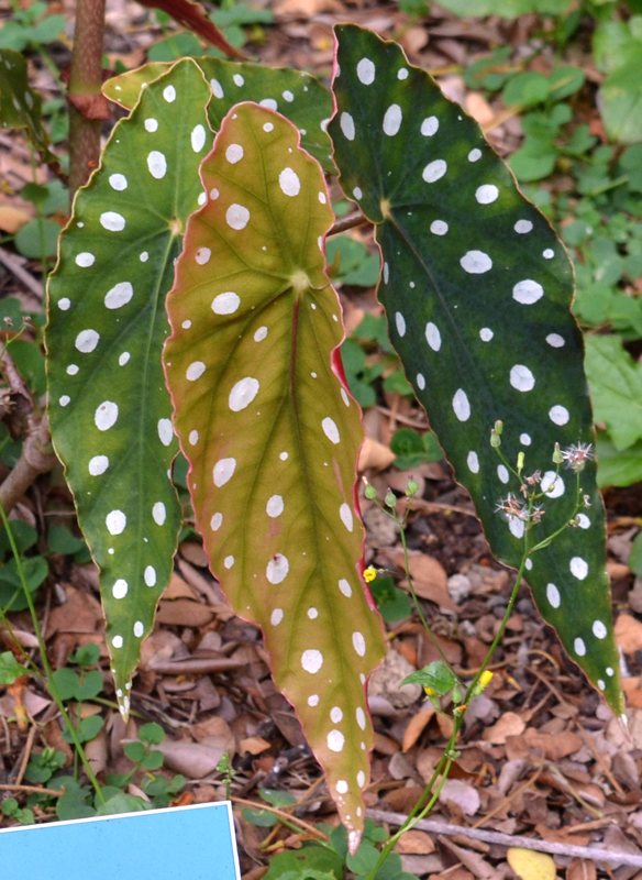 closeup of begonia polka dot