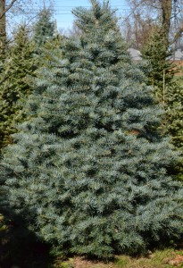 concolor fir for Christmas in Hamburg NY
