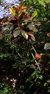 croton in garden in Hawaii