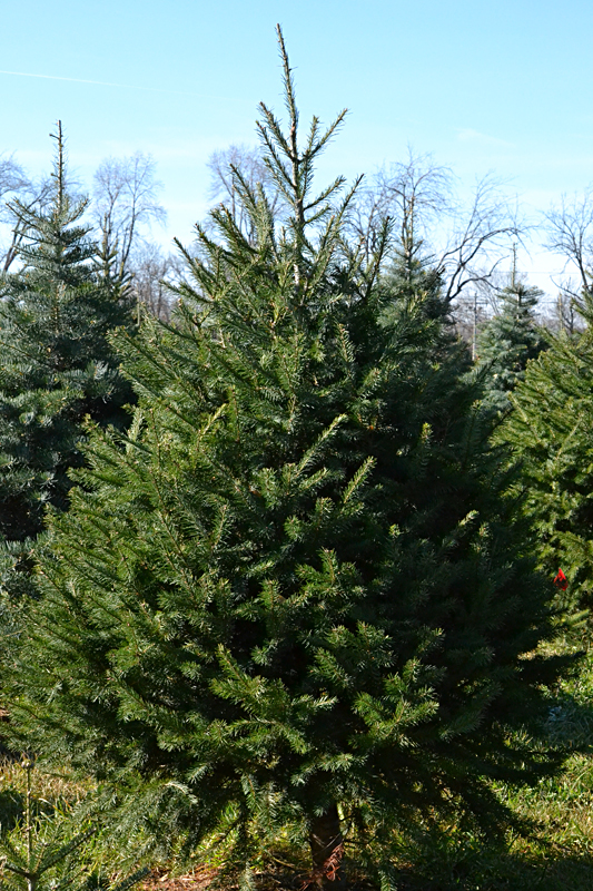 Douglas fir has medium length needles that are medium green. Photo by Connie Oswald Stofko
