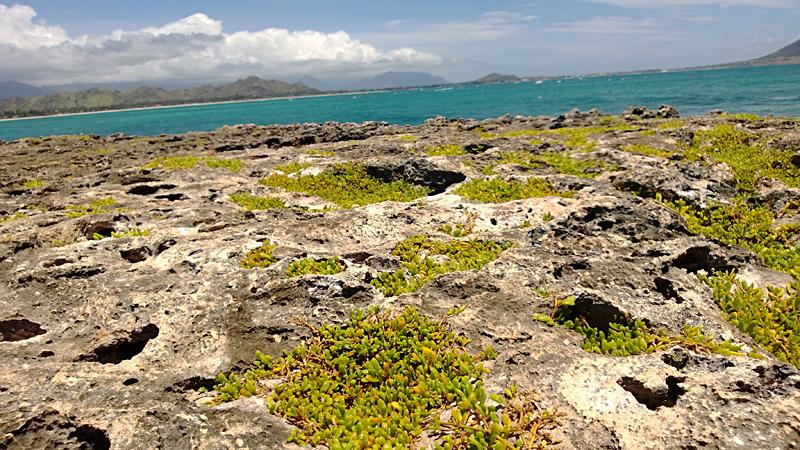 sedum on Flat Island by Brett Osiewicz