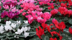 Cyclamen from Mischler's Florist in Williamsville NY