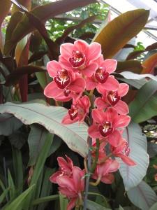 ymbidium from Buffalo Botanical Gardens