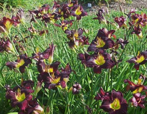 bela lugosi clump daylilies at Lasting Dreams Daylilies in Orchard Park