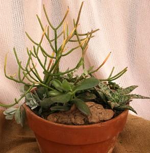 firestick jade aloe kalanchoe from Mischler's Williamsville NY