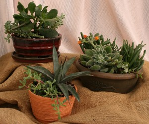succulents in pots from Mischler's in Williamsville NY
