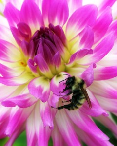 bee on flower by Nancy Boeck at Buffalo and Erie County Botanical Gardens