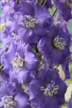Delphinium Lilac Ladies from Botanical Gardens