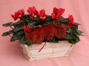 cyclamen for Valentine's Day from Mischler's Florist in Williamsville