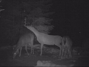 deer eating from birdfeeder in Clarence NY