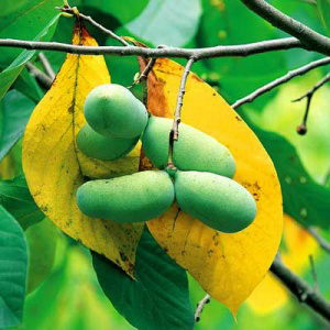 pawpaw from One Green World