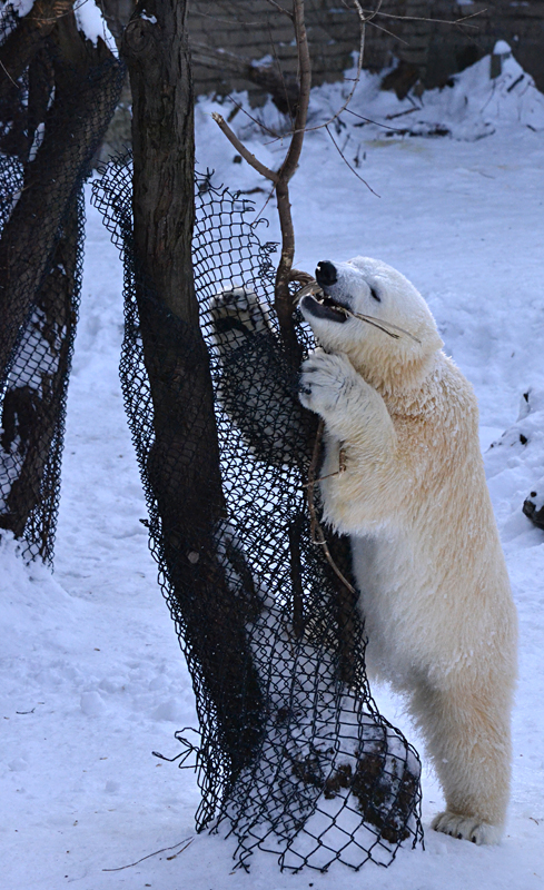 polar bear cub gnawing on branch in Buffalo Zoo