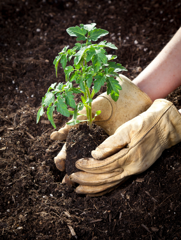 gloved hands planting plant