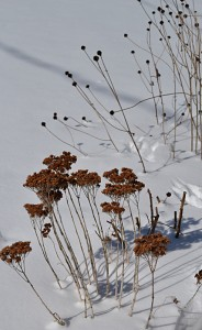 sedum and black eyed Susans in snow in Amherst NY