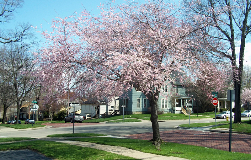 Cherry Tree Spring 2013 Lafayette & 6th in Jamestown NY