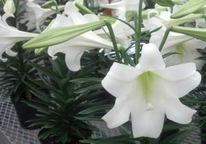 Easter lily from Lockwood's Greenhouses Hamburg NY
