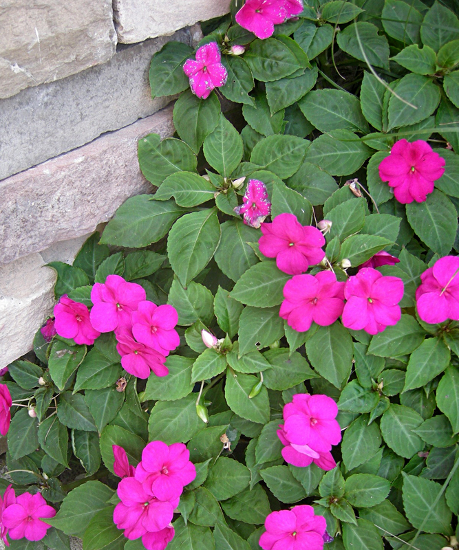 Update: Impatiens might do okay in WNY this year, or they might not