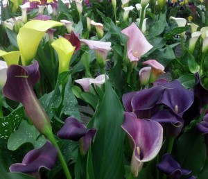 calla lily from Lockwood's in Hamburg NY