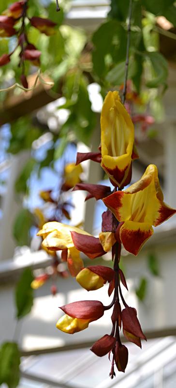 clock vine at Buffalo Botanical Gardens