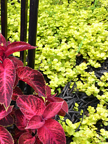 Red coleus in foreground contrasts with yellow foliage of creeping jenny, used as a ground cover in a Buffalo garden. Creeping jenny can also be used in container, where it can trail over the edge of the pot. Photo by Connie Oswald Stofko