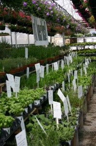 herbs and accent plants at Mike Weber Greenhouses in West Seneca NY