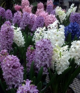 hyacinths from Lockwood's Greenhouses in Hamburg NY