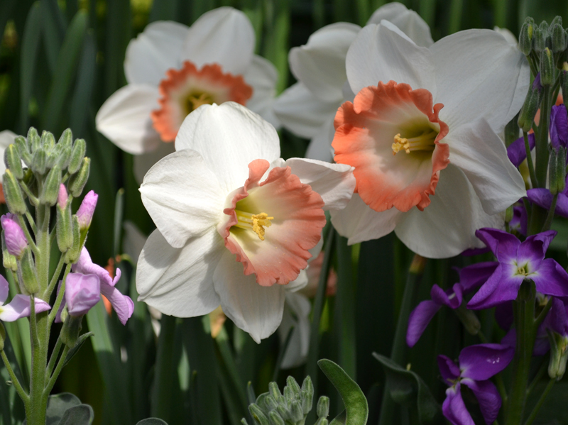 narcissus and other flowers at Buffalo Botanical Gardens