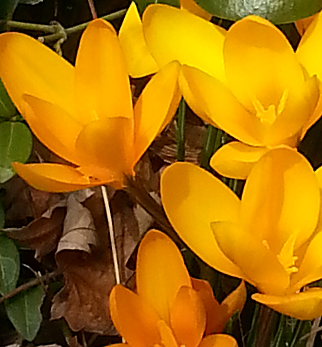 yellow crocuses in Amherst NY